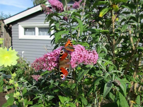Syrenbuddleja Nu förstår jag varför detta också kallas Fjärilsbuske!&nbsp 2017-08-08 Syrenbuddleja_0012 Granudden Färjestaden Öland