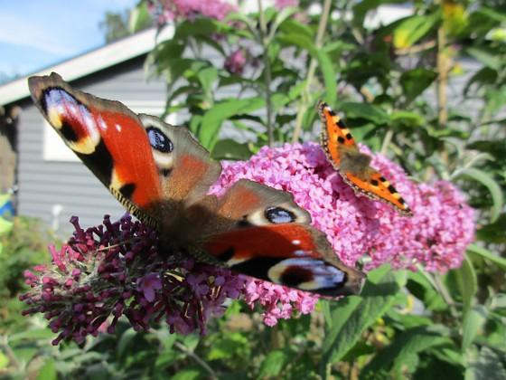 Syrenbuddleja { Nu förstår jag varför detta också kallas Fjärilsbuske! }