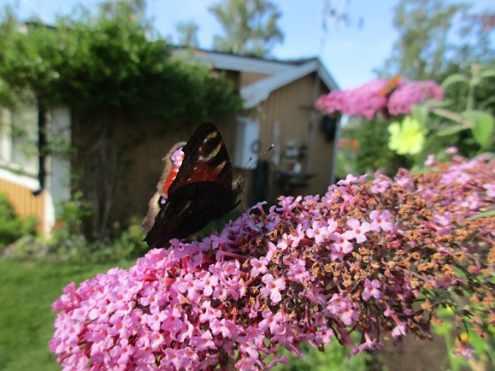 Syrenbuddleja Nu förstår jag varför detta också kallas Fjärilsbuske!&nbsp 2017-08-08 Syrenbuddleja_0020 Granudden Färjestaden Öland