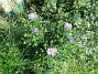 Aster                                 2017-08-08 Aster_0008