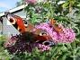 Syrenbuddleja Nu förstår jag varför detta också kallas Fjärilsbuske! 2017-08-08 Syrenbuddleja_0014