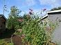 Syrenbuddleja Nu förstår jag varför detta också kallas Fjärilsbuske! 2017-08-08 Syrenbuddleja_0016