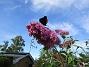 Nu förstår jag varför detta också kallas Fjärilsbuske! (2017-08-08 Syrenbuddleja_0017)