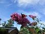 Syrenbuddleja Nu förstår jag varför detta också kallas Fjärilsbuske! 2017-08-08 Syrenbuddleja_0018