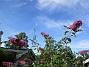 Syrenbuddleja Nu förstår jag varför detta också kallas Fjärilsbuske! 2017-08-08 Syrenbuddleja_0019