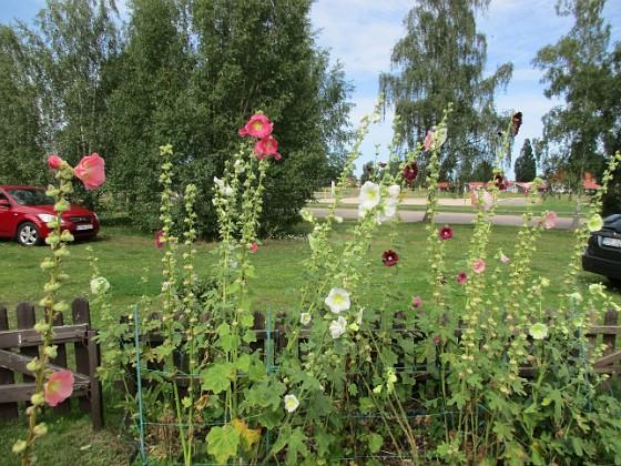 Stockros                                &nbsp 2017-08-11 Stockros_0012 Granudden Färjestaden Öland