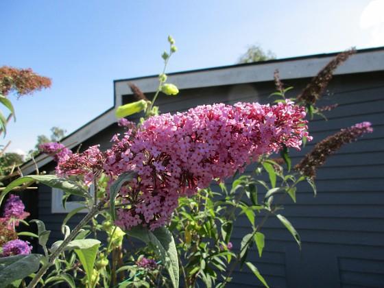 Buddleja                                &nbsp 2017-08-20 Buddleja_0042 Granudden Färjestaden Öland