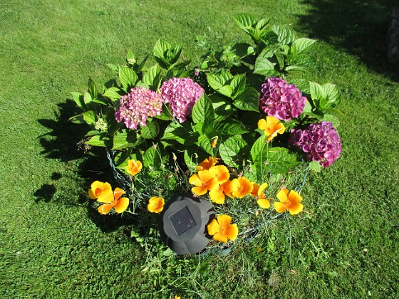 Hortensia Jag trodde hela sommaren att jag inte skulle få några blommor på mina Hortensior i år. Men nu kommer de!                               &nbsp 2017-08-20 Hortensia_0021 Granudden Färjestaden Öland