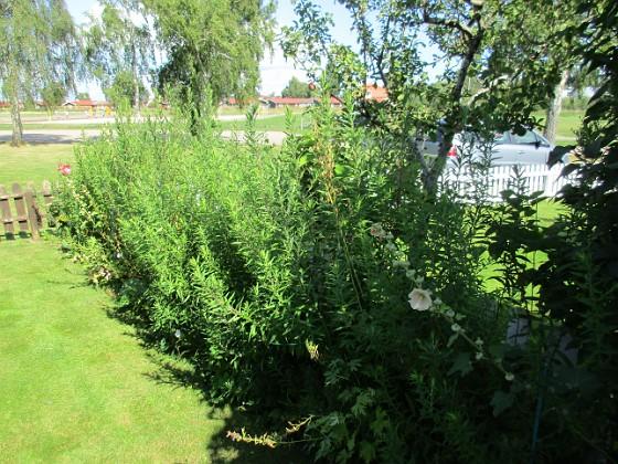 Här på min bakgård har jag Höstastrar som brukar blomma i Oktober. 2017-08-20 IMG_0085 Granudden Färjestaden Öland