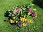 Jag trodde hela sommaren att jag inte skulle få några blommor på mina Hortensior i år. Men nu kommer de!                                (2017-08-20 Hortensia_0021)