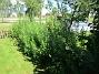 Här på min bakgård har jag Höstastrar som brukar blomma i Oktober. (2017-08-20 IMG_0085)