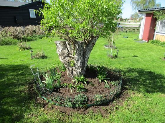 Björken Här kommer att planteras ännu mera Trädgårdsiris. Runt hela rabatten så kommer det snart upp en ring av Blodnäva.                               &nbsp 2018-05-06 Björken_0054 Granudden Färjestaden Öland