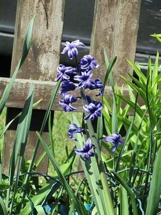 Hyacint { Från början hade jag mängder med Hyacinter men de har försvunnit en efter en.                                }