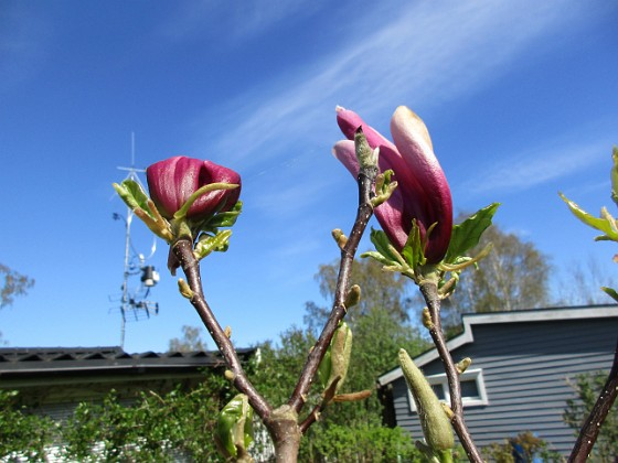 Magnolia                                &nbsp 2018-05-06 Magnolia_0059 Granudden Färjestaden Öland