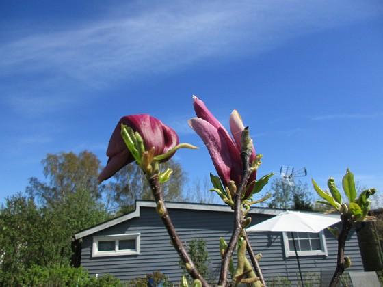 Magnolia                                &nbsp 2018-05-06 Magnolia_0060 Granudden Färjestaden Öland