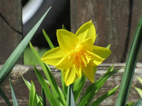 Påsklilja { Även när det gäller Påskliljor och andra typer av Narcisser så hade jag en gång hela rabatten full. Men jag har nog slarvat lite och ryckt upp bladen lite för tidigt.                                }