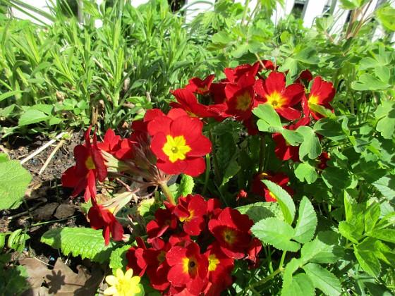 Primula { Dessa Primula blir bara finare för varje år!                                }