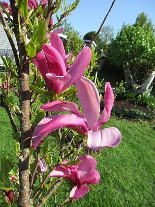 Magnolia &nbsp 2018-05-10 Magnolia_ Granudden Färjestaden Öland