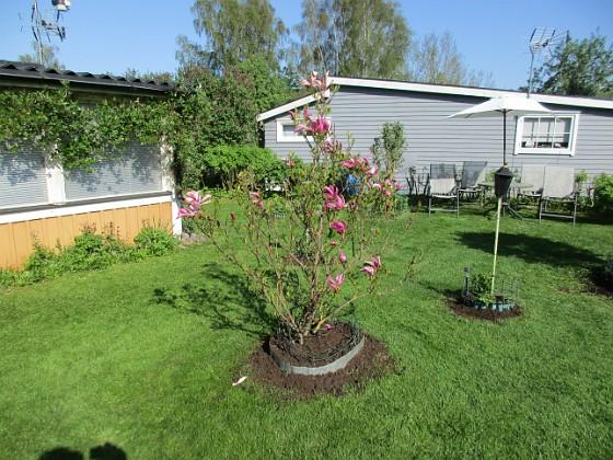 Magnolia                                 2018-05-10 Magnolia_0002 Granudden Färjestaden Öland
