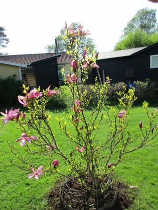 Magnolia                                &nbsp 2018-05-10 Magnolia_0007 Granudden Färjestaden Öland