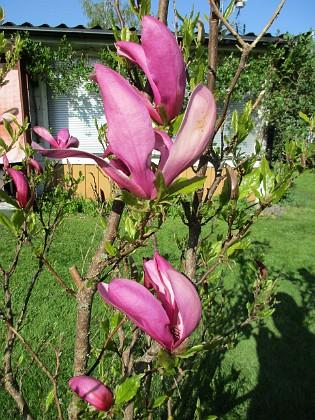 Magnolia                                &nbsp 2018-05-10 Magnolia_0013 Granudden Färjestaden Öland