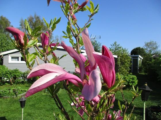 Magnolia                                 2018-05-10 Magnolia_0014 Granudden Färjestaden Öland