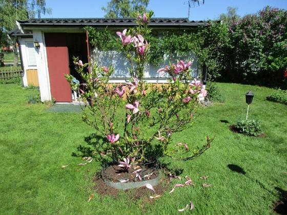 Magnolia                                 2018-05-13 Magnolia_0027 Granudden Färjestaden Öland