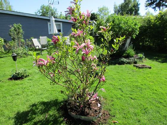 Magnolia                                 2018-05-13 Magnolia_0028 Granudden Färjestaden Öland