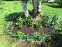 Här under Björken så har jag satt massor av Trädgårdsiris, Holländska Iris och Gladioler. Lite sent att sätta i maj men det kan gå!                                (2018-05-13 Björken_0023)