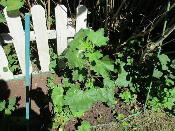 Bakgården Tidigare hade jag här på bakgården höstastrar i bakkant, men dessa har jag för en vecka sedan grävt upp. Så det mesta här är nyplanterat faktiskt. I bakkant Stockros och framför dessa Trädgårdsriddarsporre. Här finns även Akleja och Rosenmalva. Primula finns också men den har blommat över.                                2018-06-05 Bakgården_0070 Granudden Färjestaden Öland