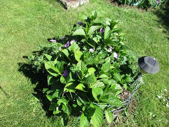 Hortensia Ursprungligen 3 olika plantor i varje rundel, från Bakker. En i varje rundel har dött. Här har även en Blodnäva smugit sig in.                               &nbsp 2018-06-05 Hortensia_0012 Granudden Färjestaden Öland