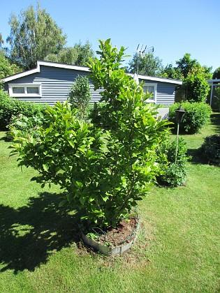 Magnolia                                2018-06-05 Magnolia_0010 Granudden Färjestaden Öland