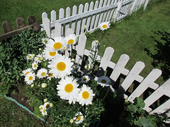 Prästkrage { Dessa Prästkragar kan jag inte minnas att jag planterat, men de måste ha följt med i någon kruka från plantskolan här i Färjestaden.                                                                 }