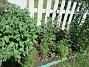 Tidigare hade jag här på bakgården höstastrar i bakkant, men dessa har jag för en vecka sedan grävt upp. Så det mesta här är nyplanterat faktiskt. I bakkant Stockros och framför dessa Trädgårdsriddarsporre. Här finns även Akleja och Rosenmalva. Primula finns också men den har blommat över.                                (2018-06-05 Bakgården_0064)
