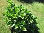 Hortensia Ursprungligen 3 olika plantor i varje rundel, från Bakker. En i varje rundel har dött.                                2018-06-05 Hortensia_0011
