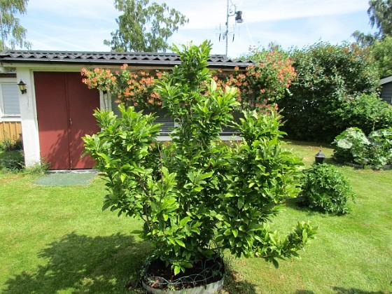 Magnolia                                 2018-06-07 Magnolia_0046 Granudden Färjestaden Öland
