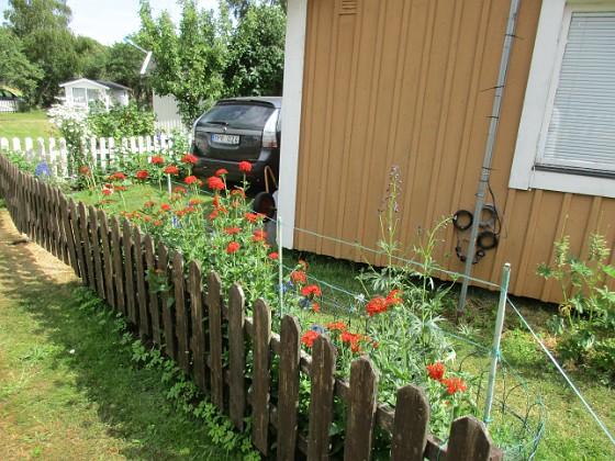 Studentnejlika { Vackra röda blommor skådas från utsidan av staketet! }