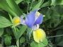 Iris                                 2018-07-16 Iris_0001