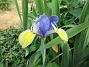 Iris                                 2018-07-16 Iris_0009