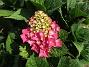 Hortensia                                 2018-07-18 Hortensia_0020