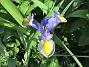 Iris                                 2018-07-18 Iris_0050