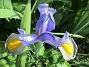 Iris                                 2018-07-18 Iris_0051