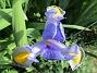 Iris                                 2018-07-18 Iris_0052