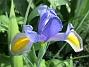 Iris                                 2018-07-18 Iris_0053