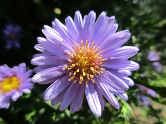 Aster {  }