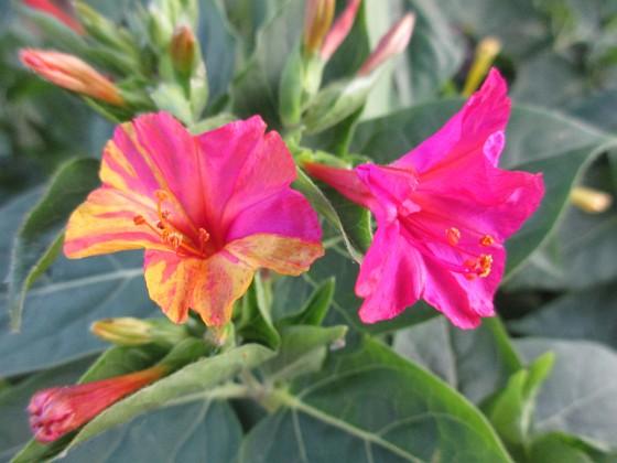 """Underblomma { Här förstår man varför den kallas Underblomma (på norska """"Mirakelblomst""""). Ett under att den kan blomma med olika färger på samma individ! }"""