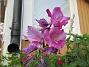 Gladioler                                 2018-08-11 Gladioler_0005
