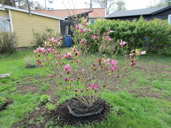 Magnolia                                &nbsp 2019-05-12 Magnolia_0010 Granudden Färjestaden Öland