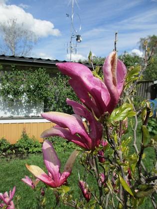 Magnolia                                 2019-05-12 Magnolia_0015 Granudden Färjestaden Öland