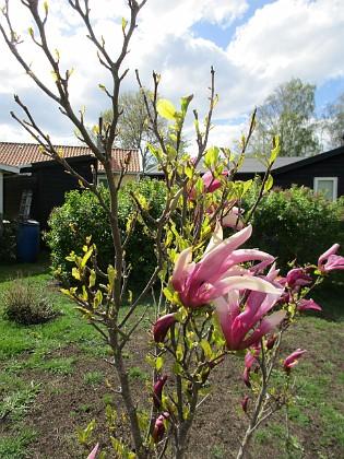Magnolia                                &nbsp 2019-05-12 Magnolia_0019 Granudden Färjestaden Öland